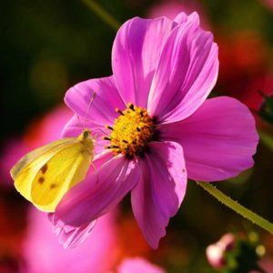 Bee and cosmos flower-Life 103 Organismal Biology