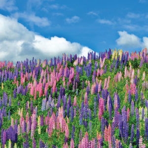 mountain lupines, LIFE 102